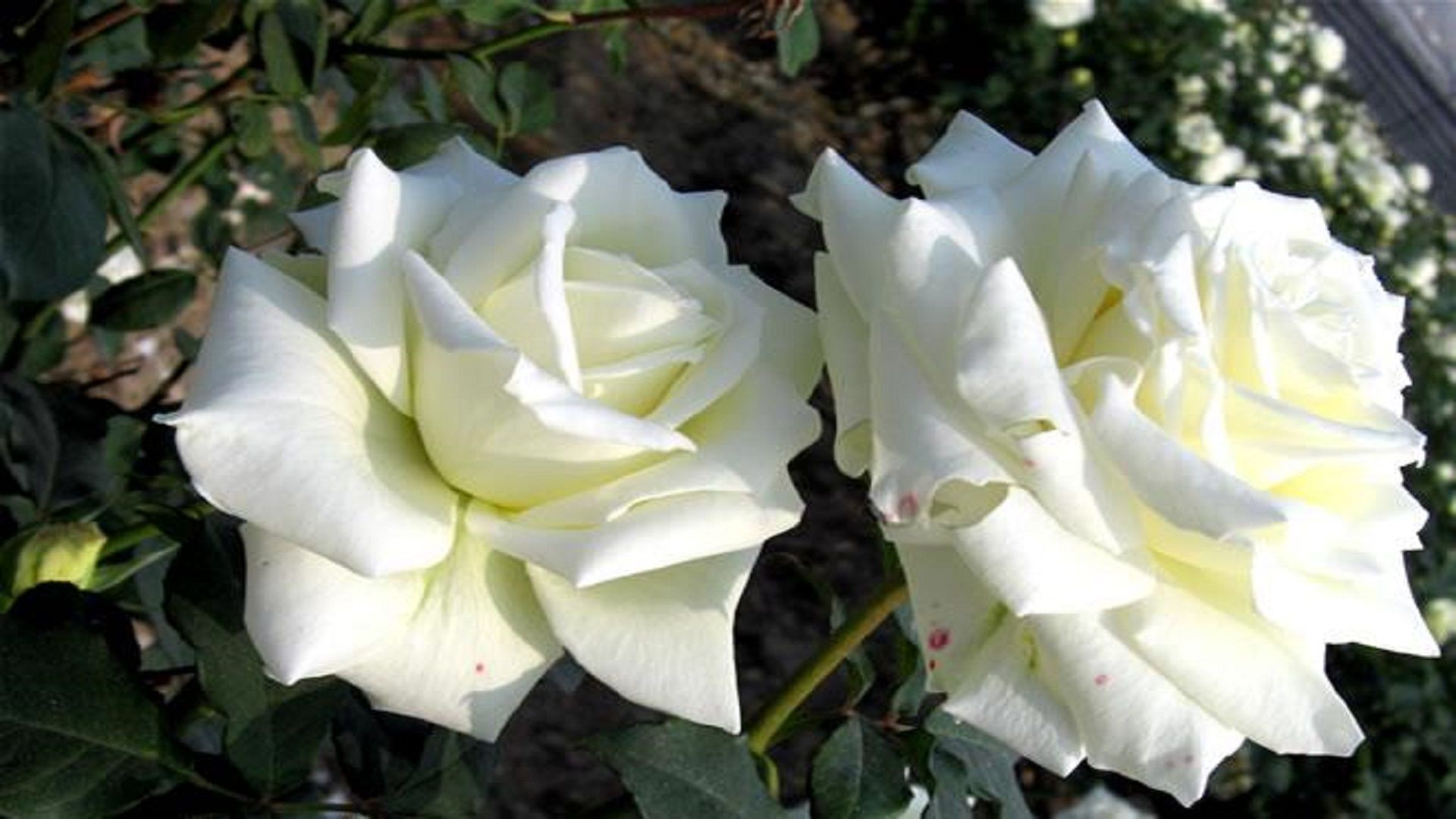 most beautiful hd free wallpapers white roses Rose