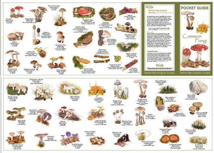 Mushroom identification chart google search names guide hunting also shroom room rh pinterest