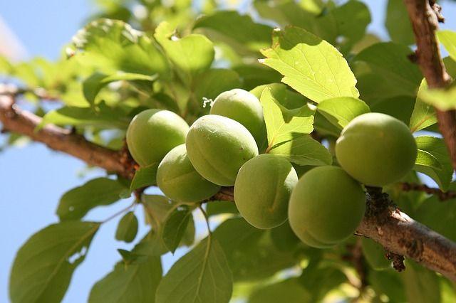 Green Gage Plum Tree Zone 5 8 Prunus Mume Plum Tree Prunus