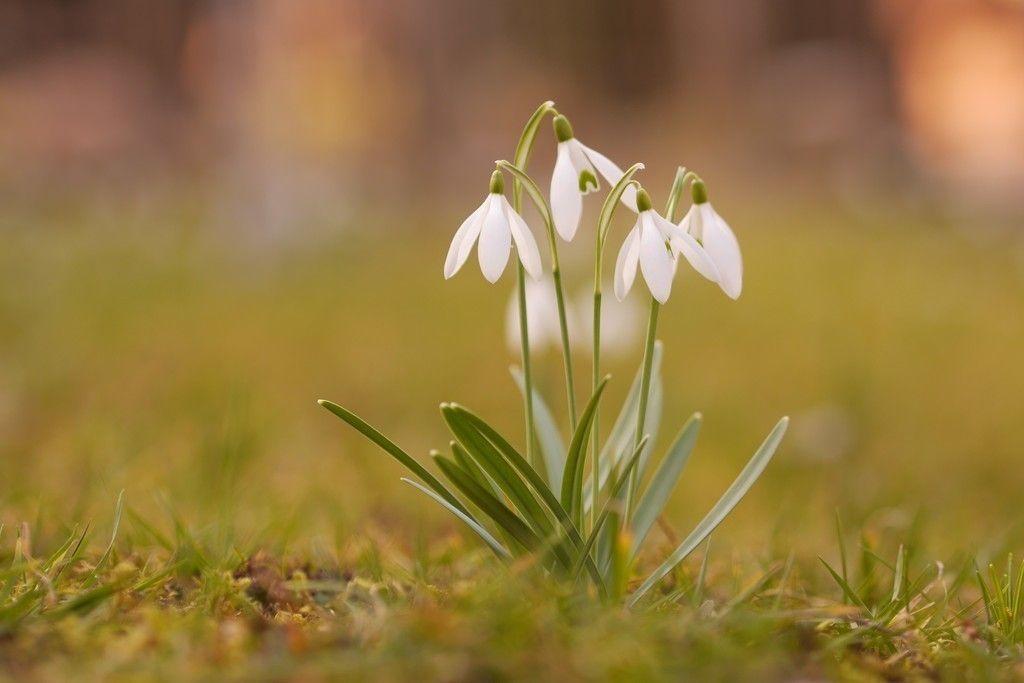 Snowdrop Plants Spring White Flower Grass Wallpaper Snowdrop Plant White Flower Wallpaper Flowers