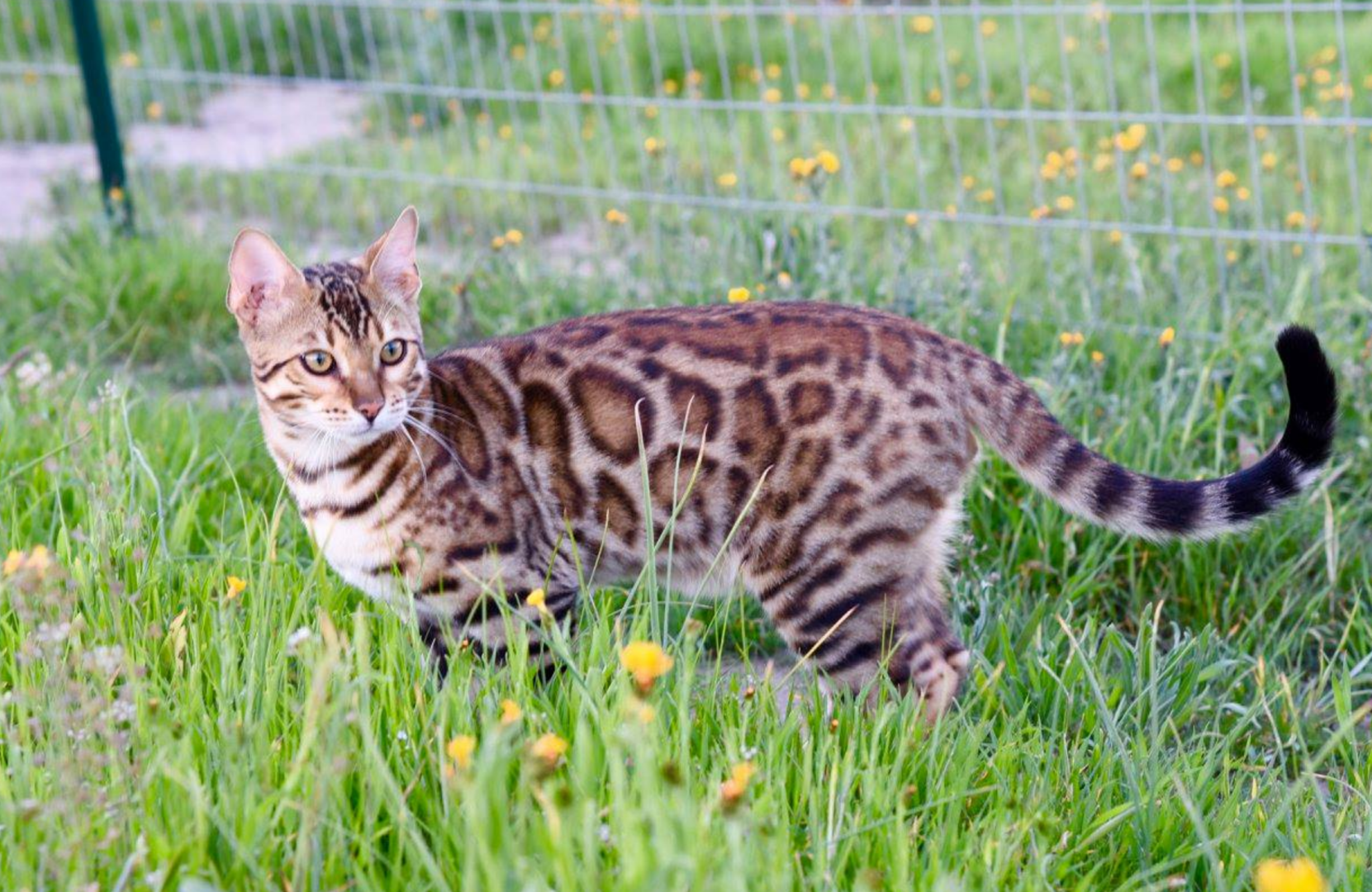 Bengal Kittens & Cats for Sale Near Me Wild & Sweet