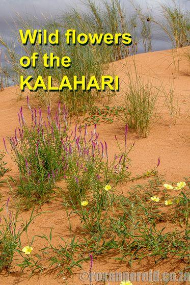 Wild flowers of the Kalahari. Author of 'Travels in the Kalahari' shares her…