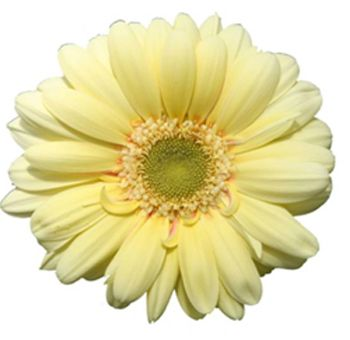 Light Yellow Gerbera Flower In Bulk At Wholesale Prices Gerbera Daisy Gerbera Flower Gerbera