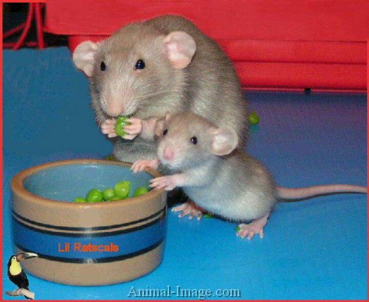 Title Mit Bildern Hausratten S 252 223 E Baby Tiere S 252 223 E Ratten