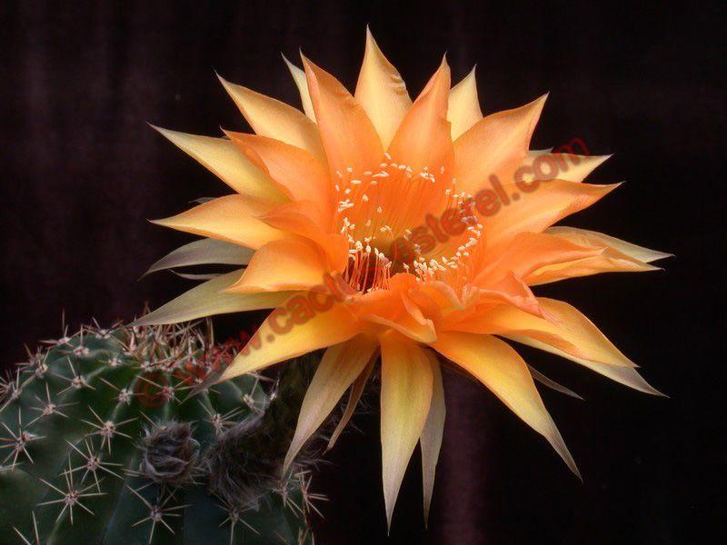 Echinopsis 'Orange Glory' DSCN0538