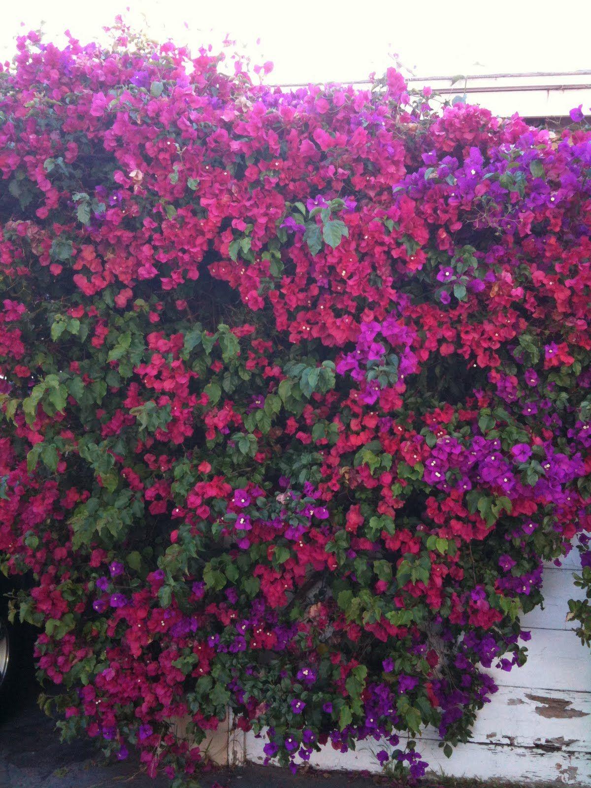 Kind hearts are a garden: Bougainvillea spectabilis and Bougainvillea glabra