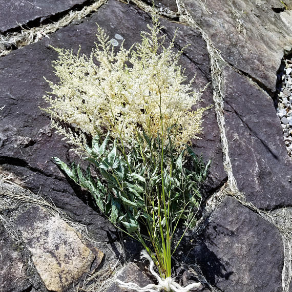 18 24 Dried Astilbe Dried Flowers White Flowers In 2020 Dried Flower Bouquet Dried Flowers Goats Beard