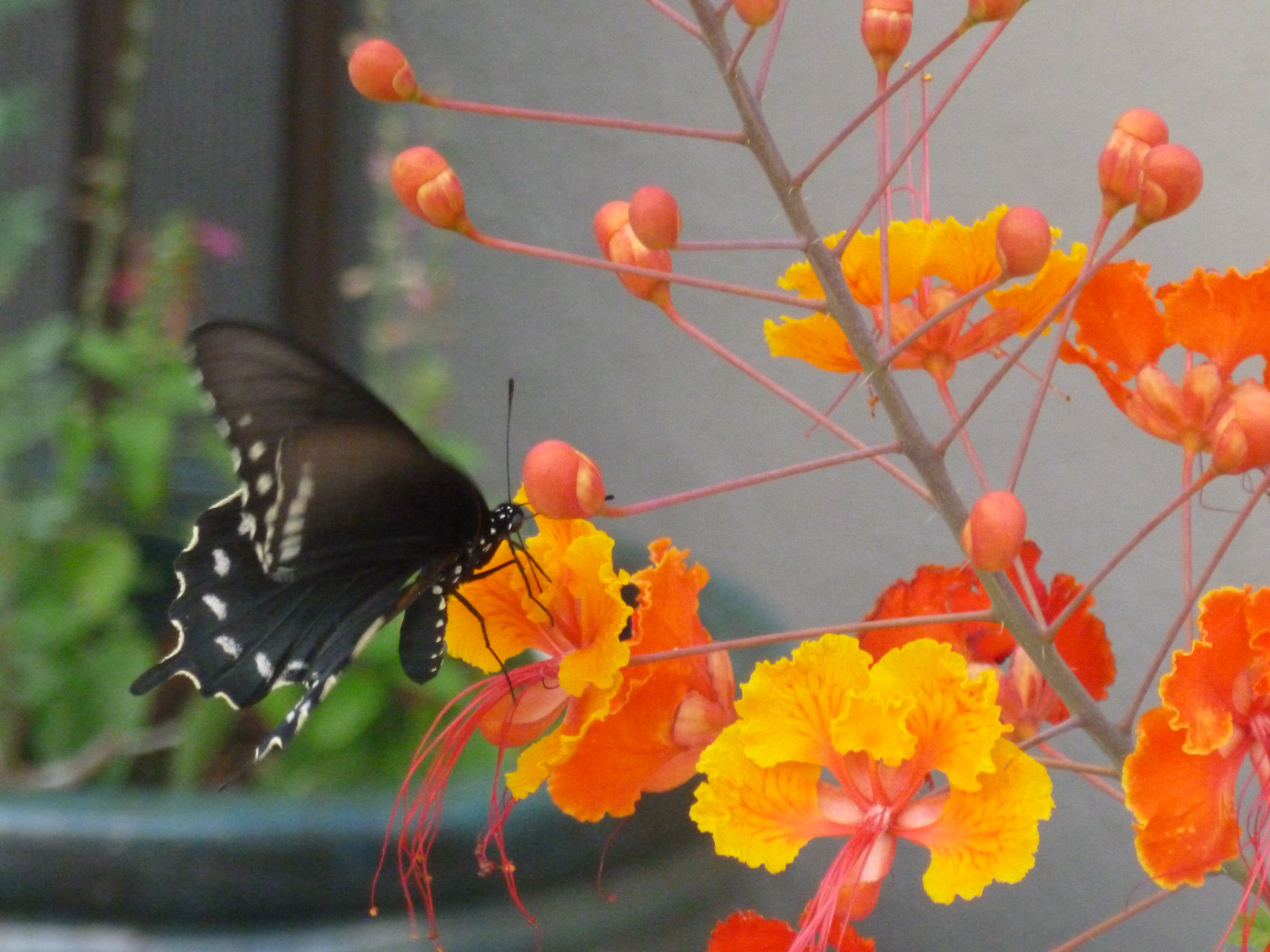 Plants Bush With Red Orange And Yellow Flowers In Arizona Bird Of