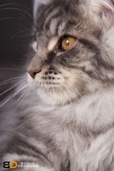 Pin on maine coon, norwegian forest cat, siberian ...