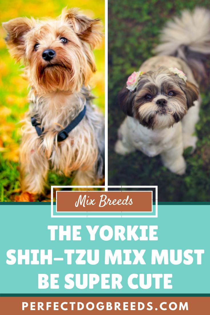 Yorkie Shih Tzu Mix In 2020 Yorkie Shih Tzu Mix Yorkie Shih Tzu