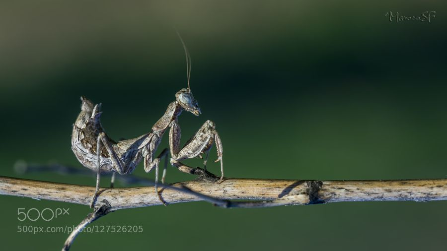 Mantis enana europea by msfleon #animals #pets #fadighanemmd