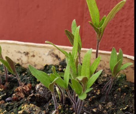 Tomatskiver lagt på jord med et tynt lag jord oppå. Plantet i en melkekartong