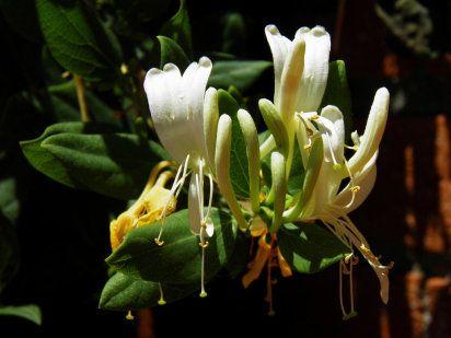Los arbustos m s bellos que llenar n de aroma tu jard n - Madreselva en maceta ...