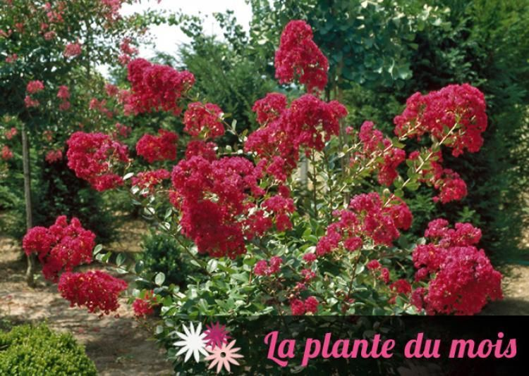 fiche de culture : le lilas des indes with love ® 'chérie' | dream