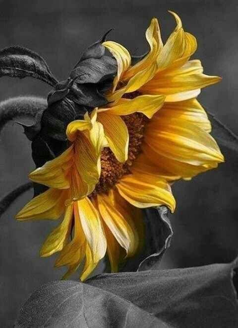 ay çiçeği, ismimin ve burcumun çiçeği.