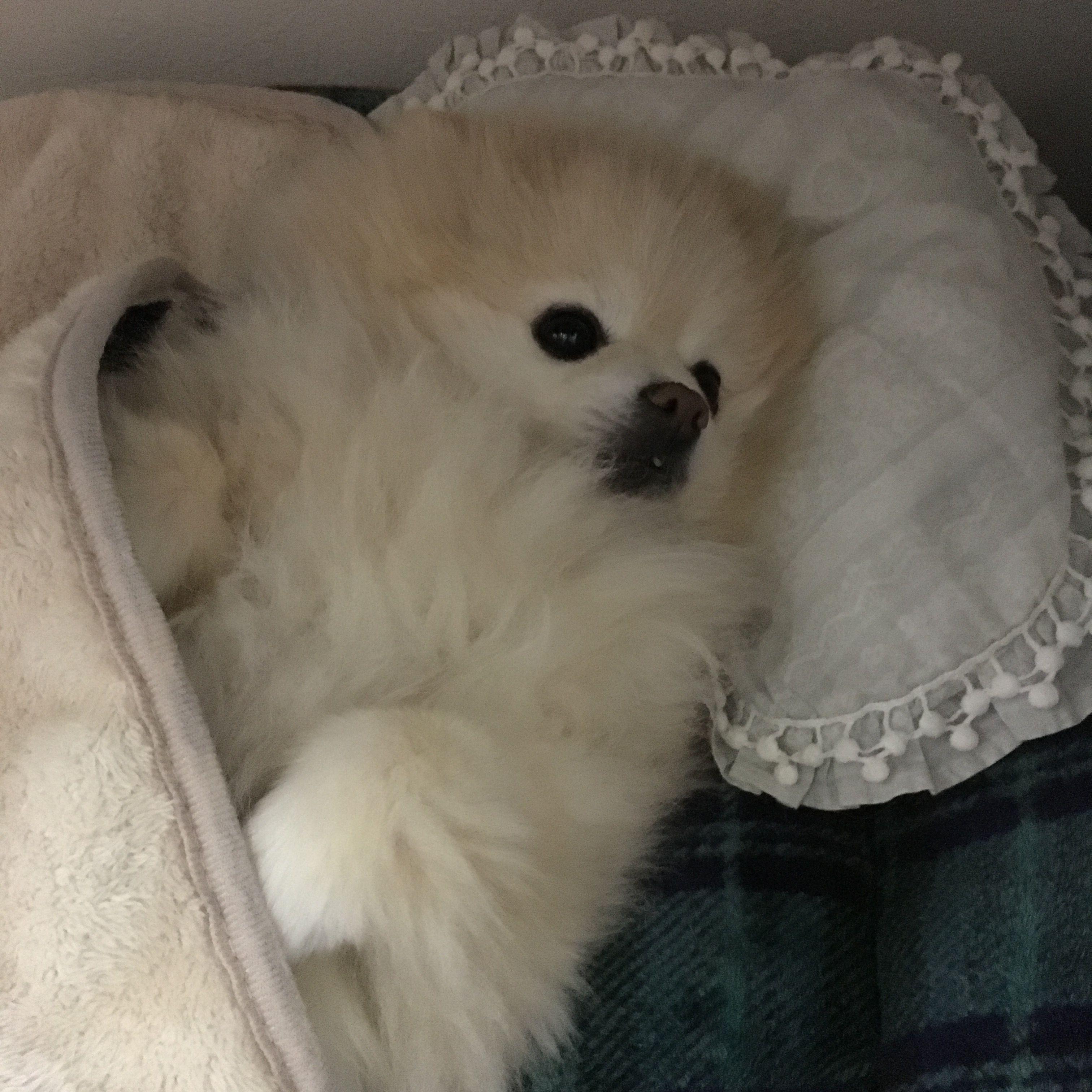 I'm in my princess bed pomeranian Fluffy animals