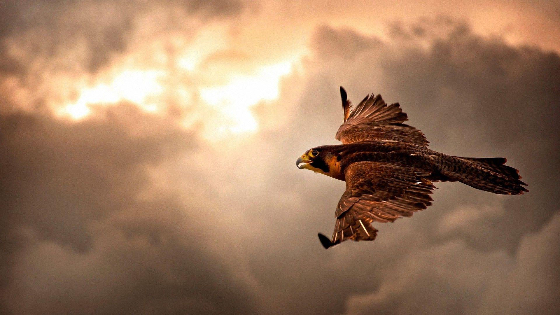 Clouds Hawk Flying Hd Wallpapers Desktop Backgrounds Eagle In Flight Eagle Wallpaper Pet Birds