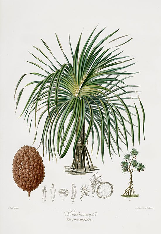 Elizabeth Twining Natural Order of Plants 1849 Cannabis, Carnivorous, Cactus and Palms