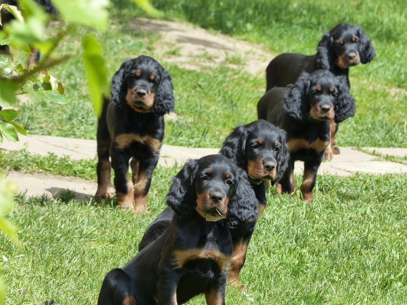 Galerie Gordon setter, Irish setter, Dogs