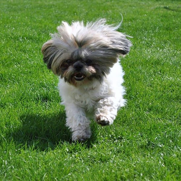 Hypoallergenic Dogs 28 Dogs That Don T Shed Best Hypoallergenic