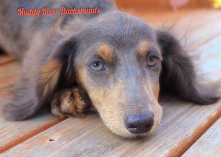 Blue And Tan Miniature Dachshunds Puppies For Sale South Of San