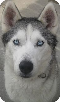 Dakota Is A 3 Year Old Purebred Female Siberian Husky Available In