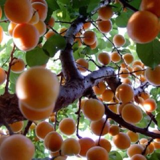 Apricots food