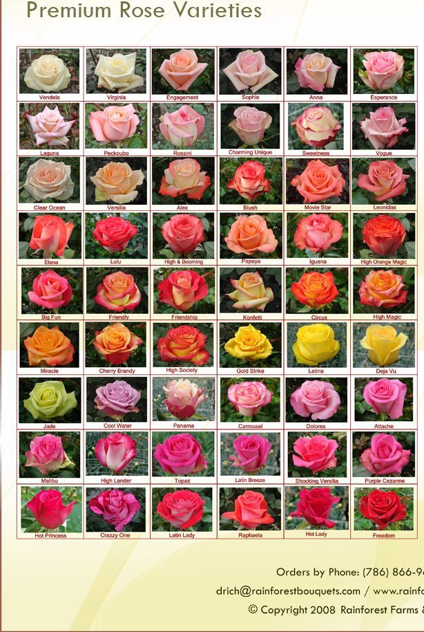 Rose Color Meanings Chart: White, Peach, Pink, Orange, Yellow