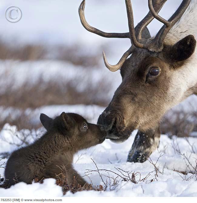 baby caribou nuzzling mom animals moms babies. Black Bedroom Furniture Sets. Home Design Ideas