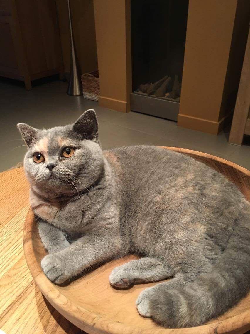 Kiki Our British Shorthair Blue Cream Cat Sleeping Cat Shelter British Shorthair