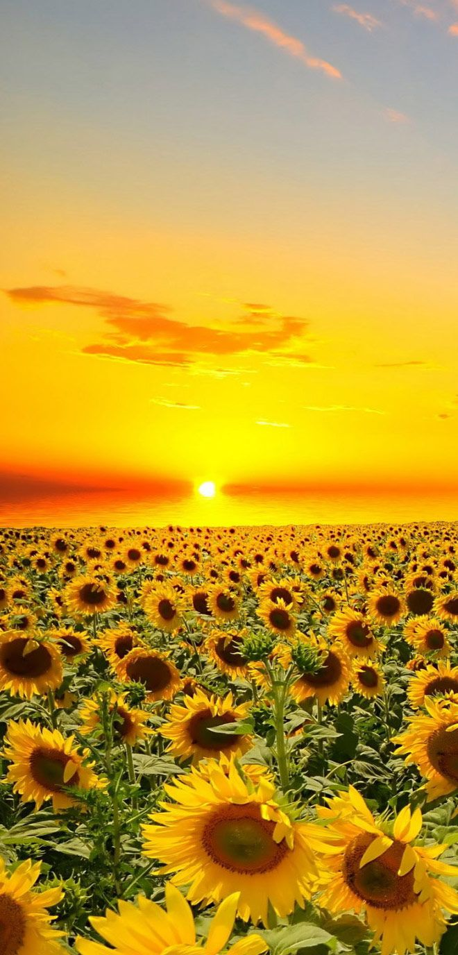 Flowers Wallpapers HD and Widescreen Sunset Over