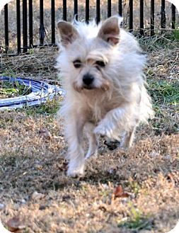 Pure Bred Cairn Terrier Up For Adoption In Nc Kitten Adoption