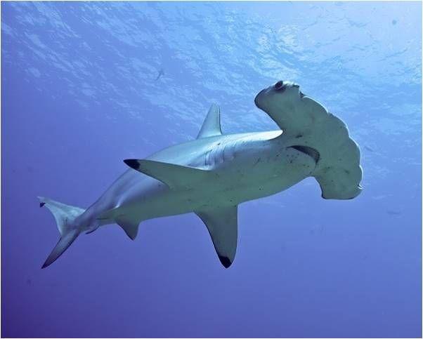 Respirando Salitre 4 Bailando Con Tiburones Naukas Imágenes De Tiburones Fotos De Tiburones Tiburones