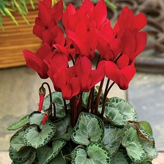 Bonsai Cyclamen Flores Seeds Plants Perennial Flower For And As Home 100pcs