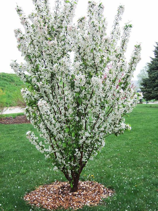 13 Of The Most Colorful Crabapple Trees For Your Yard Trees For Front Yard Small City Garden Flowering Trees
