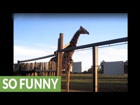 Watch One Giraffe Break a Gate and Another Try to Fix It - Cheezburger