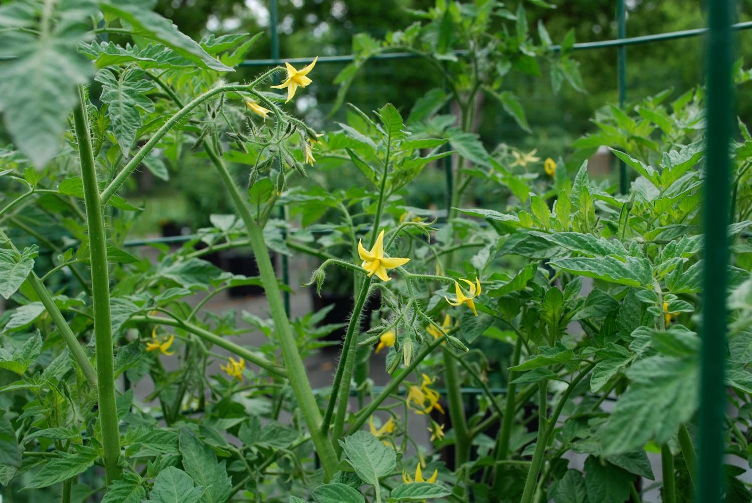 Tomato Plants Not Setting Fruit Here's Why Plants 400 x 300