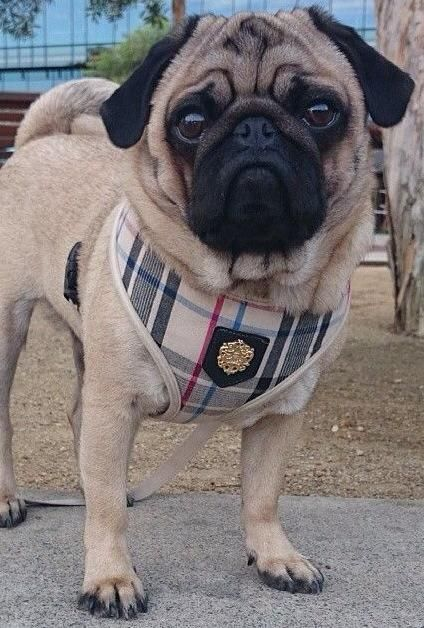 Puppia Beige Tartan Harness Available At Www Ilovepugs Co Uk Post