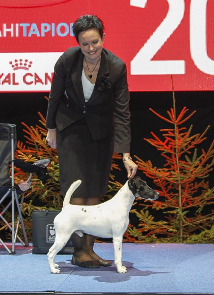 2. sileäkarvainen kettuterrieri - Fox Terrier, Smooth-haired Texforrier Get Off My Cloud, om. Nyman Molli & Laitinen Sari & Campbell Jan, Villähde