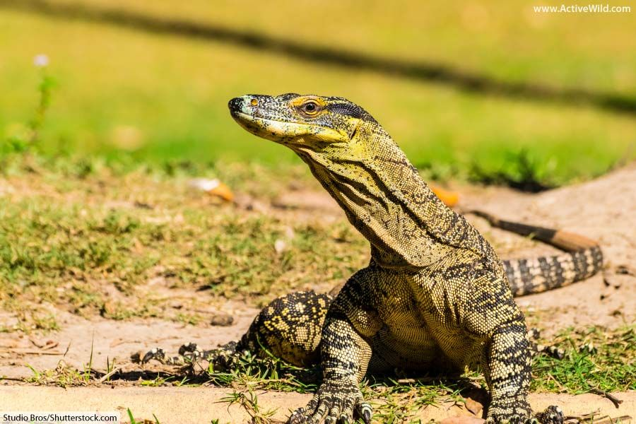 Goanna Facts For Kids & Adults Pictures, InDepth