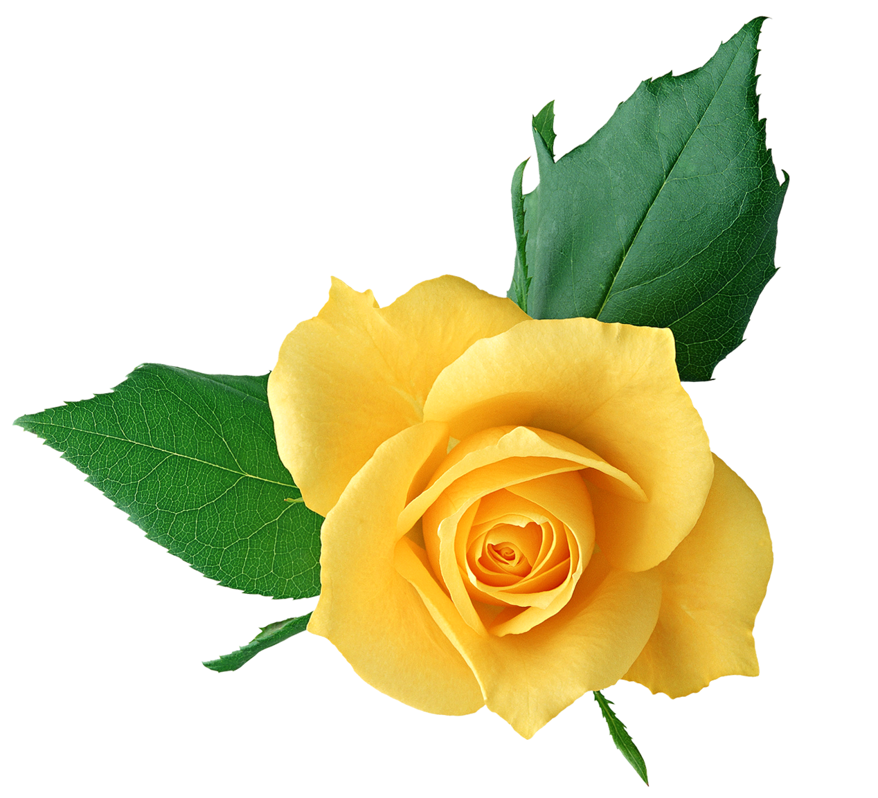 Image result for yellow rose the pauperess pinterest yellow image result for yellow rose dhlflorist Image collections