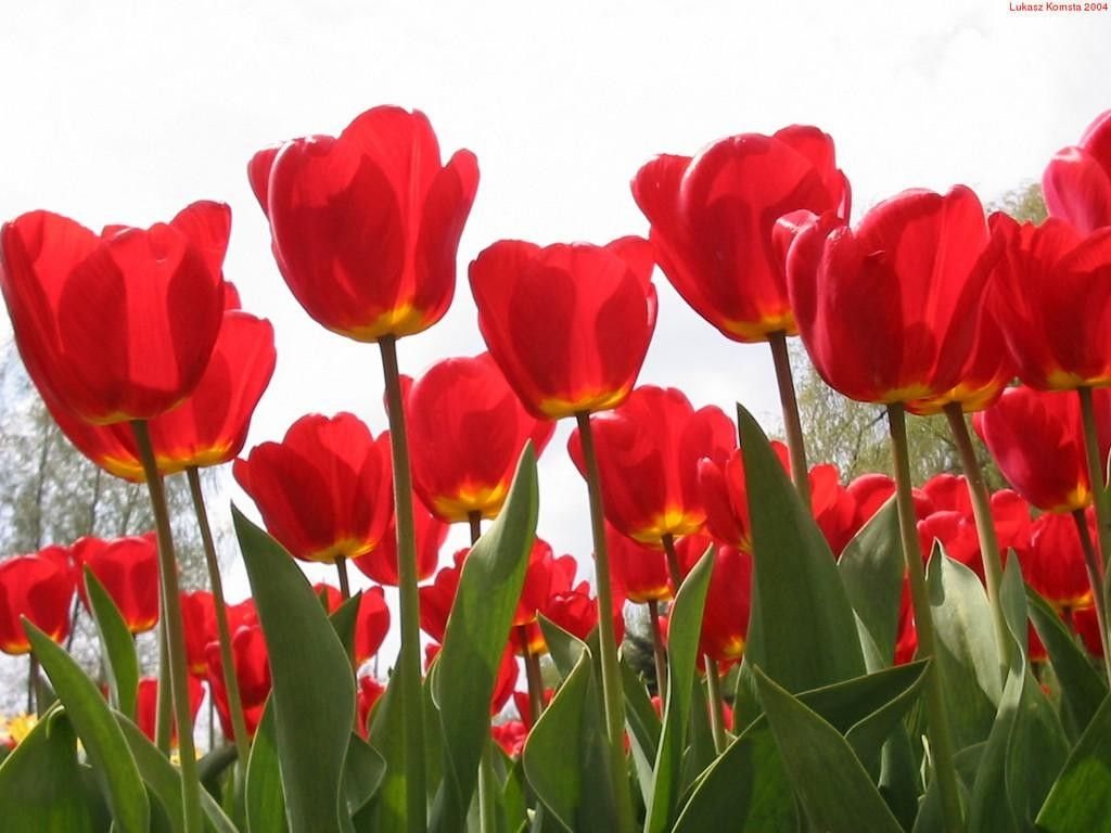 Renatures.com - Color Rose Tulip Garden Daisy Blue Flowers Red Carn ...