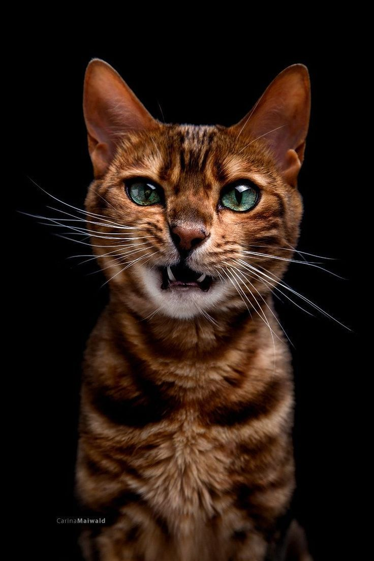 Some Bengals Are Generally Talkative While Others Prefer To Wait For The Right Time To Communicate Many Bengal C Cat Photography Animal Photography Cat Breeds