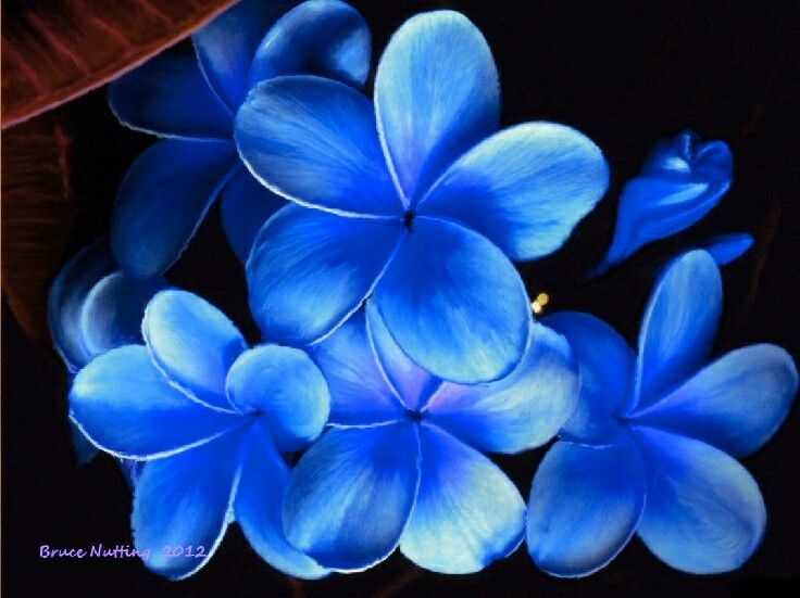 Blue Plumeria Plumeria Flowers Hawaii Flowers Pretty Flowers