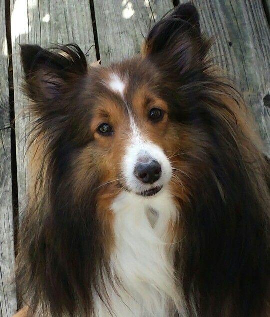 Ringo, Shetland Sheepdog