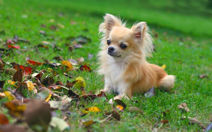 Télécharger Fonds D écran Chihuahua Chien Pelouse Des