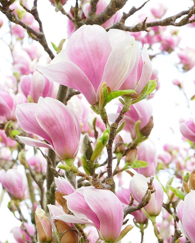When I First Saw The Pink Magnolia Tree I Was Enchanted Its Blossoms Look Like Large Pink Cups Making Offerin In 2020 Flowers Most Beautiful Flowers Beautiful Flowers