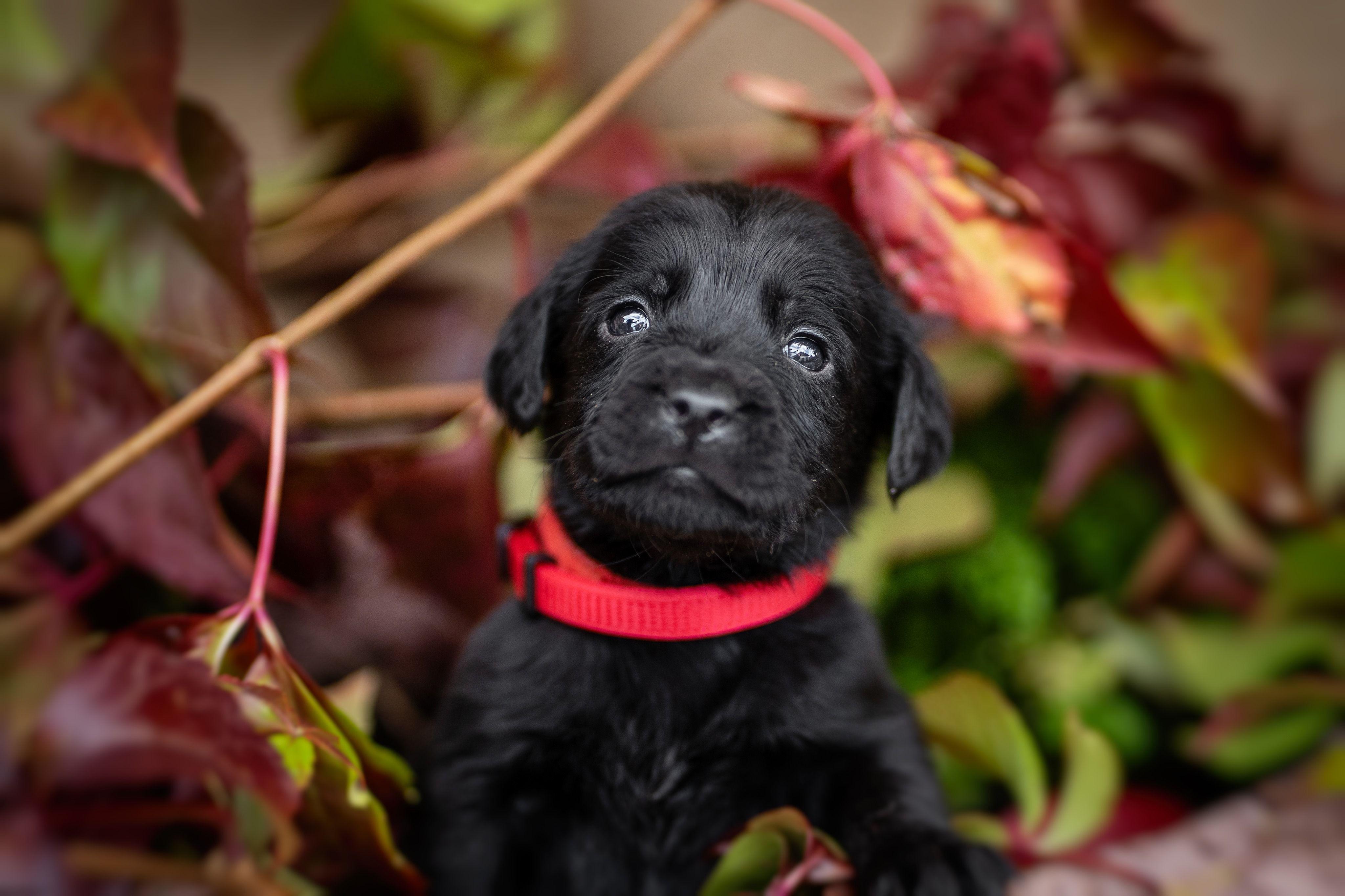 Labrador Retriever Zucht Welpen In Foxred Weiss Braun Schwarz