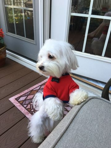 Maltese Puppy For Sale In Glen Burnie Md Adn 30067 On