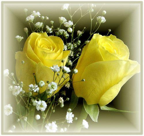 Yellow Rose Flowers Id 97307 WallPhocom   Flowermedia.